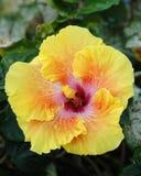 Hibisco amarillo Imagen de archivo libre de regalías