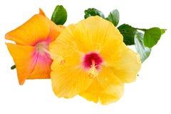 Hibisco amarillo y anaranjado, flores tropicales, en blanco Fotos de archivo