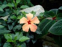 Hibisco anaranjado Fotografía de archivo libre de regalías