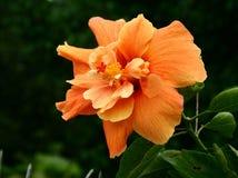 Hibisco anaranjado Imágenes de archivo libres de regalías