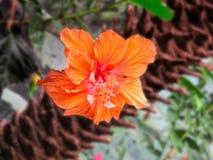 Hibisco anaranjado con los detalles Imagen de archivo