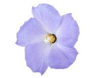 Hibisco azul imágenes de archivo libres de regalías