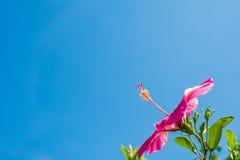 Hibisco bastante rosado Foto de archivo libre de regalías
