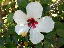 Hibisco blanco Fotografía de archivo