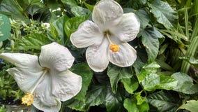 Hibisco blanco en la floración Fotos de archivo libres de regalías