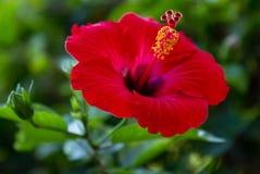 Hibisco bonito Imagen de archivo libre de regalías
