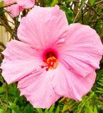 Hibisco bonito púrpura rosado foto de archivo libre de regalías