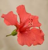 Hibisco brillante o de San Diego del rojo imagen de archivo