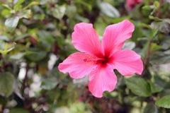 Hibisco - color de rosa Imagenes de archivo