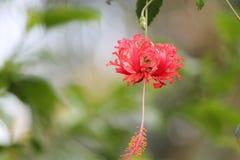 Hibisco de la araña Fotografía de archivo libre de regalías