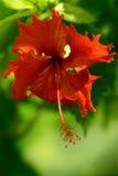 Hibisco de la flor Foto de archivo libre de regalías