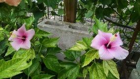 Hibisco de la lila en la floración Fotos de archivo libres de regalías