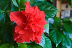 Hibisco de la planta de la casa - el chino subió Foto de archivo