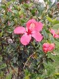 Hibisco di Bogota della via del giardino Fotografia Stock Libera da Diritti