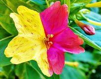 Hibisco dos colores Imagen de archivo