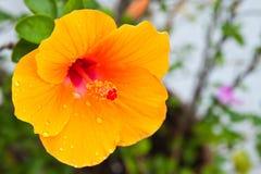Hibisco, flor tropical Fotos de archivo