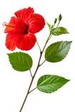Hibisco floreciente fotos de archivo libres de regalías