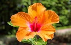 Hibisco hawaiano hermoso imagenes de archivo