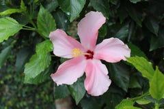 Hibisco hawaiano romántico Fotografía de archivo