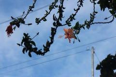 Hibisco (hibisco Rosa-sinensis) Fotos de archivo libres de regalías