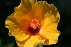 Hibisco llameante Imagen de archivo libre de regalías