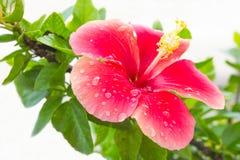Hibisco-Malvaceae de la flor Imagen de archivo