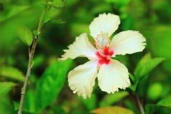 Hibisco o chino color de rosa o flor del sinensis de Rosa del hibisco Imagen de archivo libre de regalías