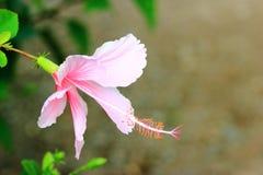 Hibisco o chino color de rosa o flor del sinensis de Rosa del hibisco Fotografía de archivo