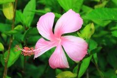 Hibisco o chino color de rosa o flor del sinensis de Rosa del hibisco Fotos de archivo libres de regalías