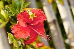 Hibisco rojo Foto de archivo