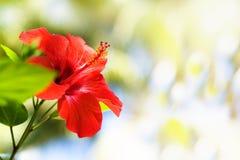 Hibisco rojo Fotografía de archivo
