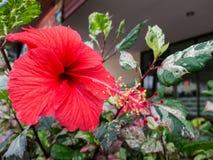 Hibisco rojo Imagenes de archivo