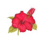 Hibisco rojo Imágenes de archivo libres de regalías