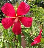 Hibisco rojo foto de archivo libre de regalías
