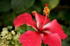 Hibisco rojo Fotos de archivo libres de regalías