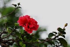 Hibisco rojo Fotos de archivo