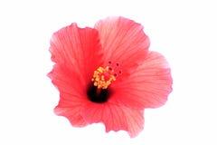 Hibisco rojo brillante foto de archivo libre de regalías