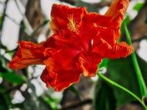 Hibisco rojo con los detalles Fotos de archivo libres de regalías