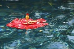 Hibisco rojo en piscina Foto de archivo libre de regalías