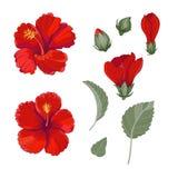 Hibisco rojo fijado con el ejemplo decorativo del vector de las hojas y de los brotes de las flores ilustración del vector