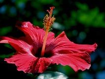 Hibisco rojo hermoso Imagen de archivo libre de regalías