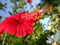 Hibisco Rosa Fotos de archivo libres de regalías