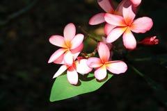 Hibisco rosado Foto de archivo libre de regalías