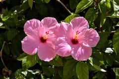 Hibisco rosado Fotos de archivo