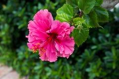 Hibisco rosado Imágenes de archivo libres de regalías