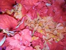 Hibisco y flor del kanakambaram imagen de archivo