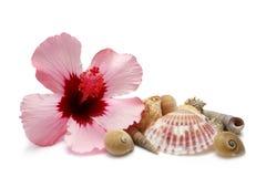 Hibisco y shelles Imágenes de archivo libres de regalías