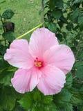 hibiscus à ¹ ‰ royalty-vrije stock fotografie