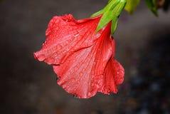 Hibiscus άνθος μετά από τη βροχή Στοκ εικόνα με δικαίωμα ελεύθερης χρήσης