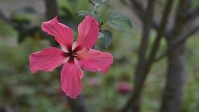 Hibiscus άνθος λουλουδιών απόθεμα βίντεο